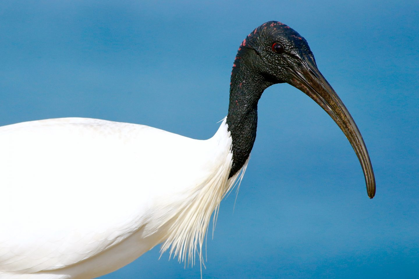 Animals in Sydney, The Ibis